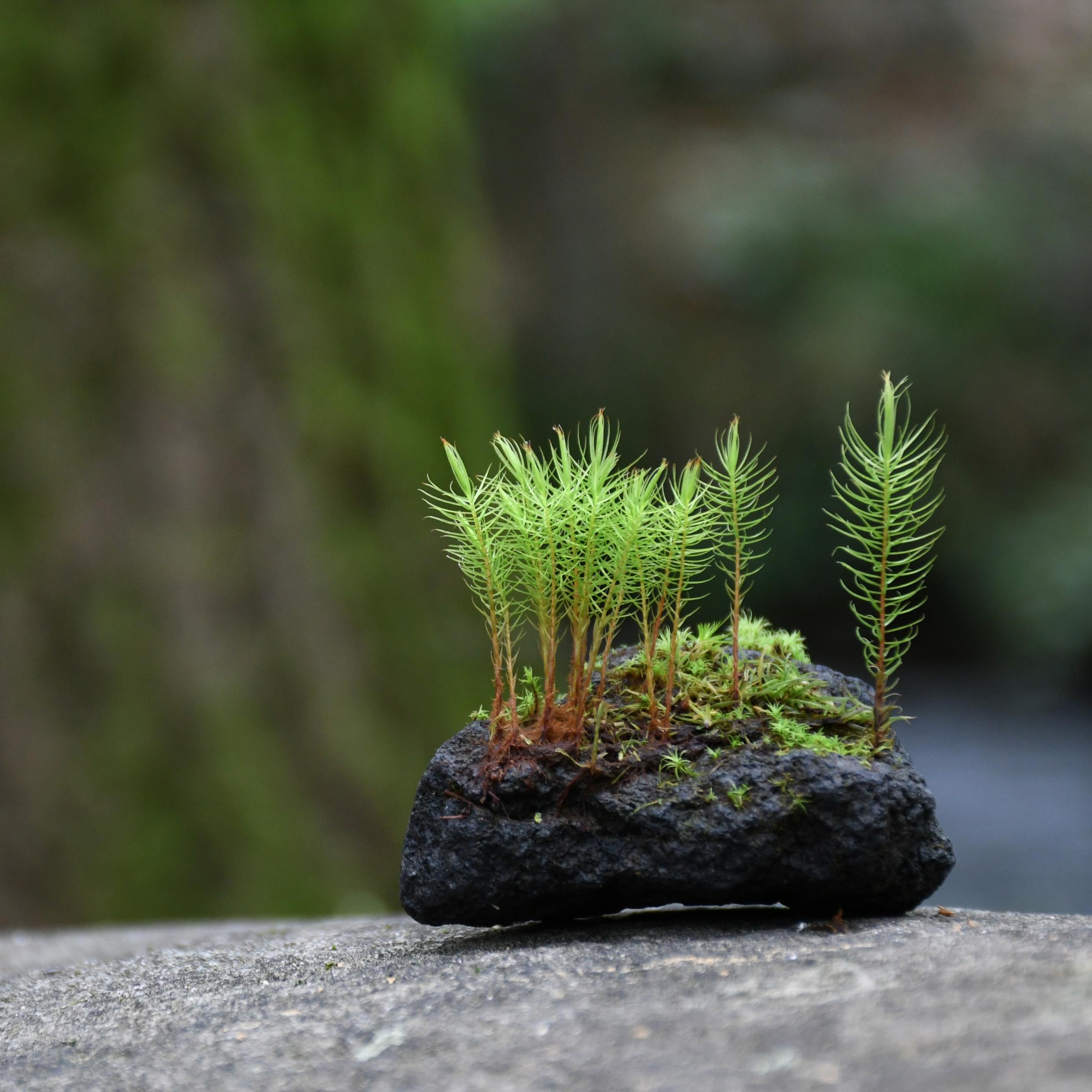 溶岩石着生苔石