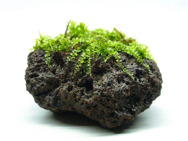 溶岩石着生