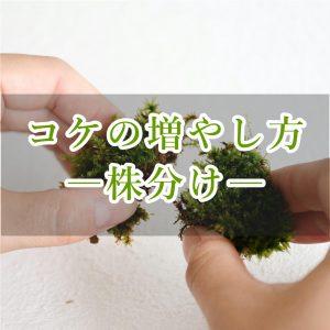 苔の増やし方株分け