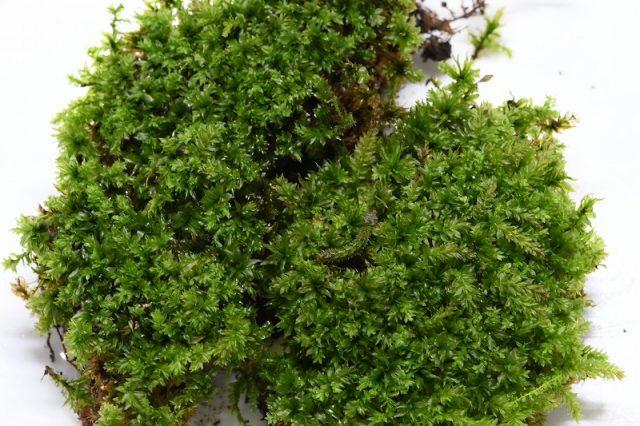 苔に擬態する虫