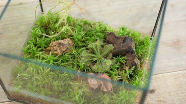 食虫植物と苔