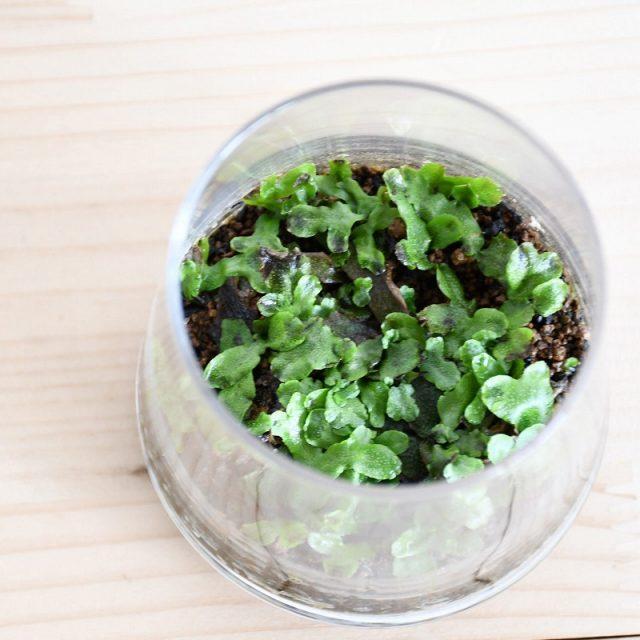 苔類の苔テラリウム